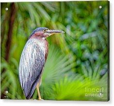 The Green Heron Acrylic Print