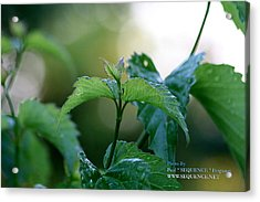 The Green Leaf Acrylic Print by Paul SEQUENCE Ferguson             sequence dot net