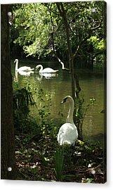 The Guard Swan Acrylic Print