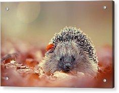 The Happy Hedgehog Acrylic Print