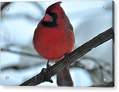 The Haughty Cardinal Acrylic Print by Healing Woman
