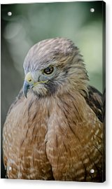 The Hawk Acrylic Print by David Collins