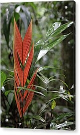 The Heart Of The Amazon Acrylic Print