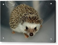 The Hedgehog Acrylic Print