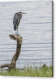 The Herons Pearch  Acrylic Print