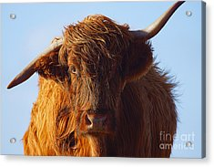 The Highland Cow Acrylic Print