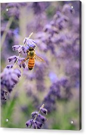 The Honey Bee And The Lavender Acrylic Print