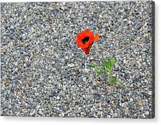 The Hopeful Poppy Acrylic Print