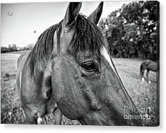 the Horses of Blue Ridge 1 Acrylic Print by Blake Yeager