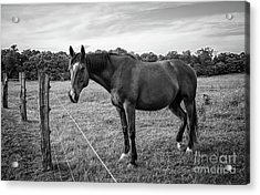 the Horses of Blue Ridge 2 Acrylic Print by Blake Yeager