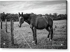 the Horses of Blue Ridge 2 Acrylic Print