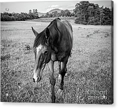 the Horses of Blue Ridge 3 Acrylic Print by Blake Yeager