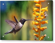 The Hummingbird And The Bee Acrylic Print by William Lee