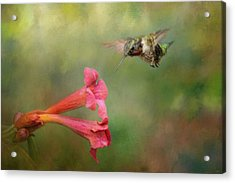 The Hummingbird And The Trumpet Flower Acrylic Print