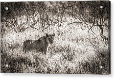 The Huntress - Black And White Lion Photograph Acrylic Print