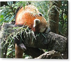 The Infamous Red Panda Acrylic Print by Eliot LeBow