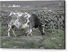 The Ireland Moo Acrylic Print