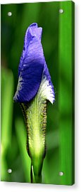 The Iris Acrylic Print by Winona Steunenberg