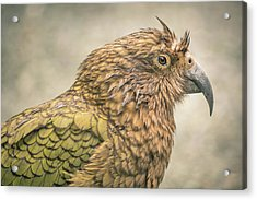 The Kea Acrylic Print