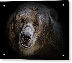The Kodiak Bear Acrylic Print by Animus Photography