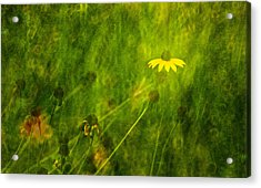 The Last Black-eyed Susan Acrylic Print