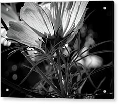 The Last Cosmos Acrylic Print