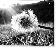 The Last Dandelion Acrylic Print