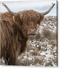 The Laughing Cow, Scottish Version Acrylic Print