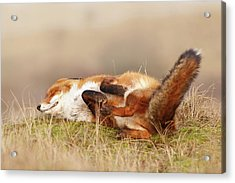 The Laughing Fox Acrylic Print by Roeselien Raimond