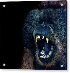 The Laughing Orangutan Acrylic Print by Martin Newman