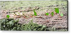 The Leaf Parade  Acrylic Print by Betsy Knapp