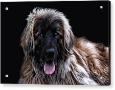 The Leonberger Acrylic Print by Joachim G Pinkawa