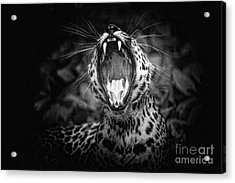The  Leopard's Tongue Rolling Roar Acrylic Print