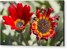 Acrylic Print featuring the photograph The Life And Death Of A Flower by Nathan Rupert