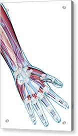 The Ligaments Of The Hand Acrylic Print by MedicalRF.com