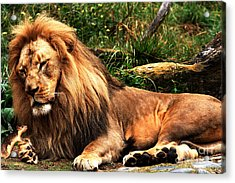 The Lion And The Mouse 2 Acrylic Print by Wingsdomain Art and Photography