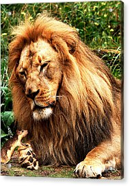 The Lion And The Mouse Acrylic Print by Wingsdomain Art and Photography