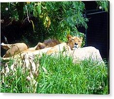 The Lion Awakes Acrylic Print