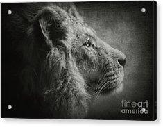 The Lion B/w Acrylic Print