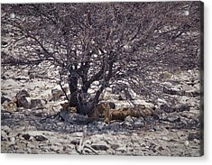 Acrylic Print featuring the photograph The Lion Family by Ernie Echols