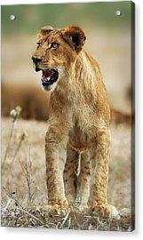 The Lion King Acrylic Print by Yuri Peress