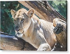 The Lioness Acrylic Print by David Collins
