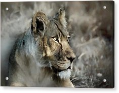 The Lioness  Acrylic Print