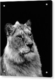 The Lioness Sitting Proud Acrylic Print