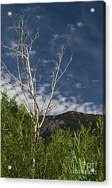 The Lonely Aspen  Acrylic Print
