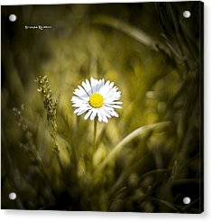 Acrylic Print featuring the photograph The Lonely Daisy by Stwayne Keubrick