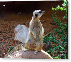 The Lookout - Meerkat Acrylic Print