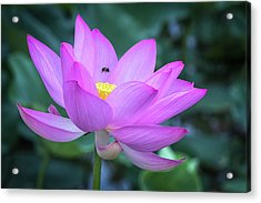 The Lotus And The Bee Acrylic Print