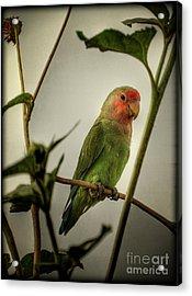 The Lovebird  Acrylic Print by Saija  Lehtonen