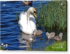 The Lovely Mrs Swan And Family Acrylic Print by Doug Thwaites